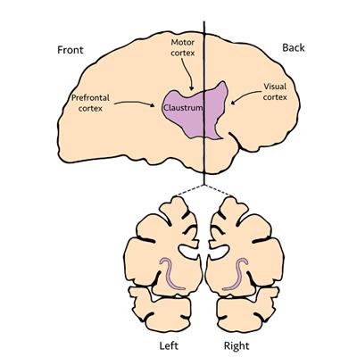 Figure 1: Claustrum Location